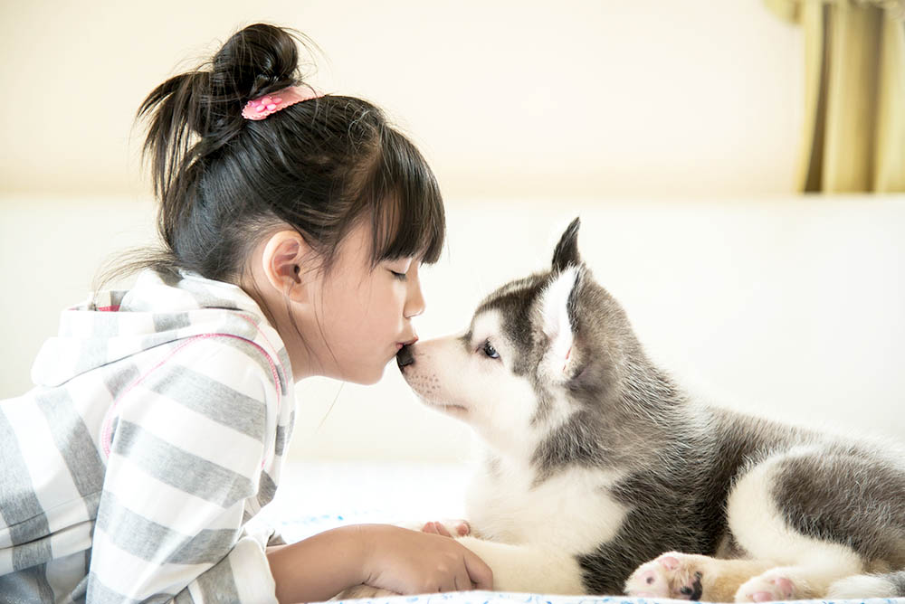 Little asian girl kissing a siberian husky puppy